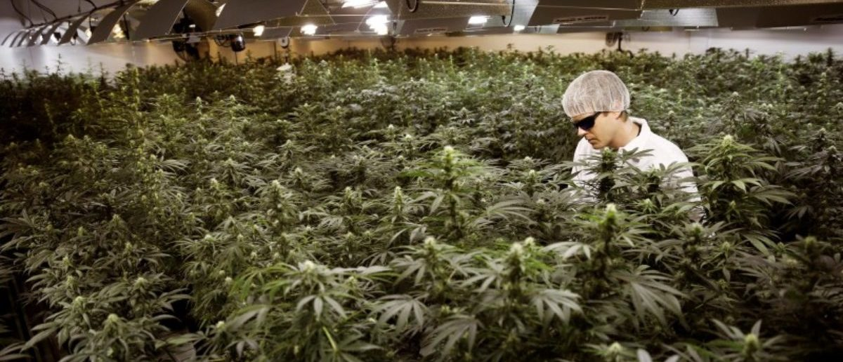 FILE PHOTO: Master Grower Ryan Douglas waters marijuana plants in a growing room at Tweed Marijuana Inc in Smith's Falls, Ontario, February 20, 2014. REUTERS/Blair Gable/File Photo