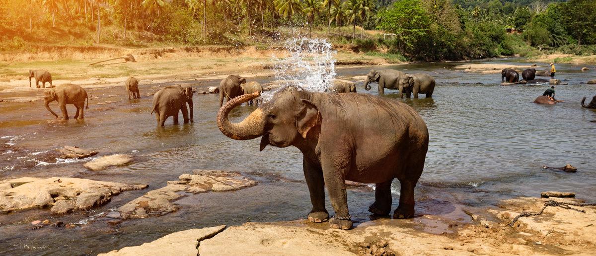 Elephants bathing in the river. National park. Pinnawala Elephant Orphanage. Sri Lanka. (Shutterstock/Travel landscapes)