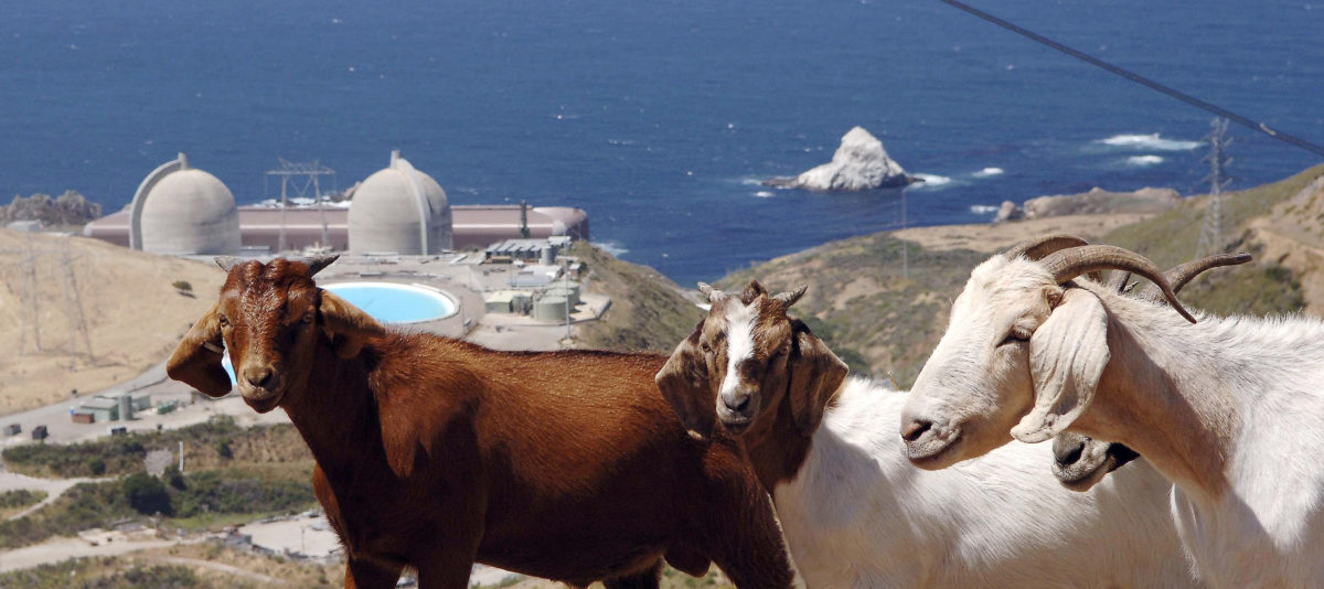 A flock of goats walk on a hillside above Diablo Canyon nuclear power plant at Avila Beach, California in this June 22, 2005 file photograph. Californians have long had an uneasy relationship with their two nuclear power plants, and the crisis in Japan as a result of the earthquake and tsunami on March 11, 2011, raises new doubts about how long nuclear power will survive in the earthquake-prone state. The first test of the Golden State's support for nuclear power is coming soon, as the nuclear plants perched on the scenic but fault-laden California coastline begin the process for 20-year license renewals.  REUTERS/Phil Klein/Files