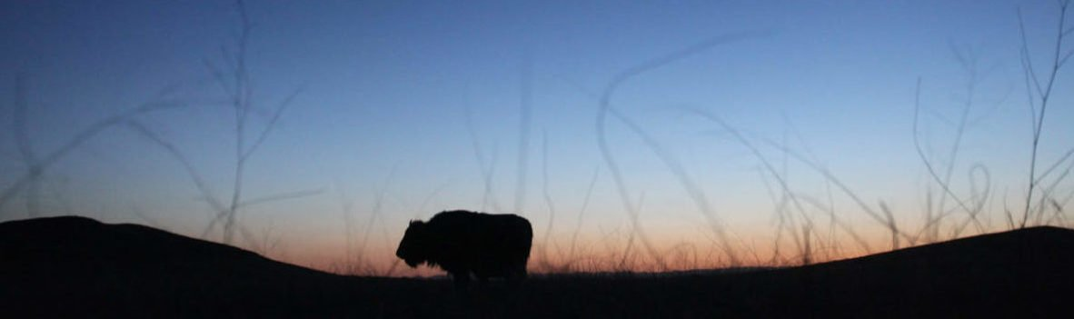 An American bison stands in the grasslands of the Janos Biosphere Reserve in Janos, in Chihuahua state, May 16, 2014. The bison is one of 300 endangered species in Mexico and fundamental for the recovery of the Chihuahan Desert grasslands according to the director of the El Uno Ecological Reserve. Bison are an essential part of the ecosystem in supporting populations of other species in the reserve. Bison break the ground with their step and allow plants to grow, promote water filtration and keep the grass at a height perfect for other species like the prairie dog to thrive. As part of the five-year old Bison Reintroduction Project by The Nature Conservancy, NGOs, universities and government agencies, eight more adult bison, five females and three males, just arrived from New Mexico and were released in Janos, totalling now 61 bison in the reserve. Picture taken May 16, 2014. REUTERS/Jose Luis Gonzalez (MEXICO - Tags: ANIMALS ENVIRONMENT) - GM1EA5L0LOR01