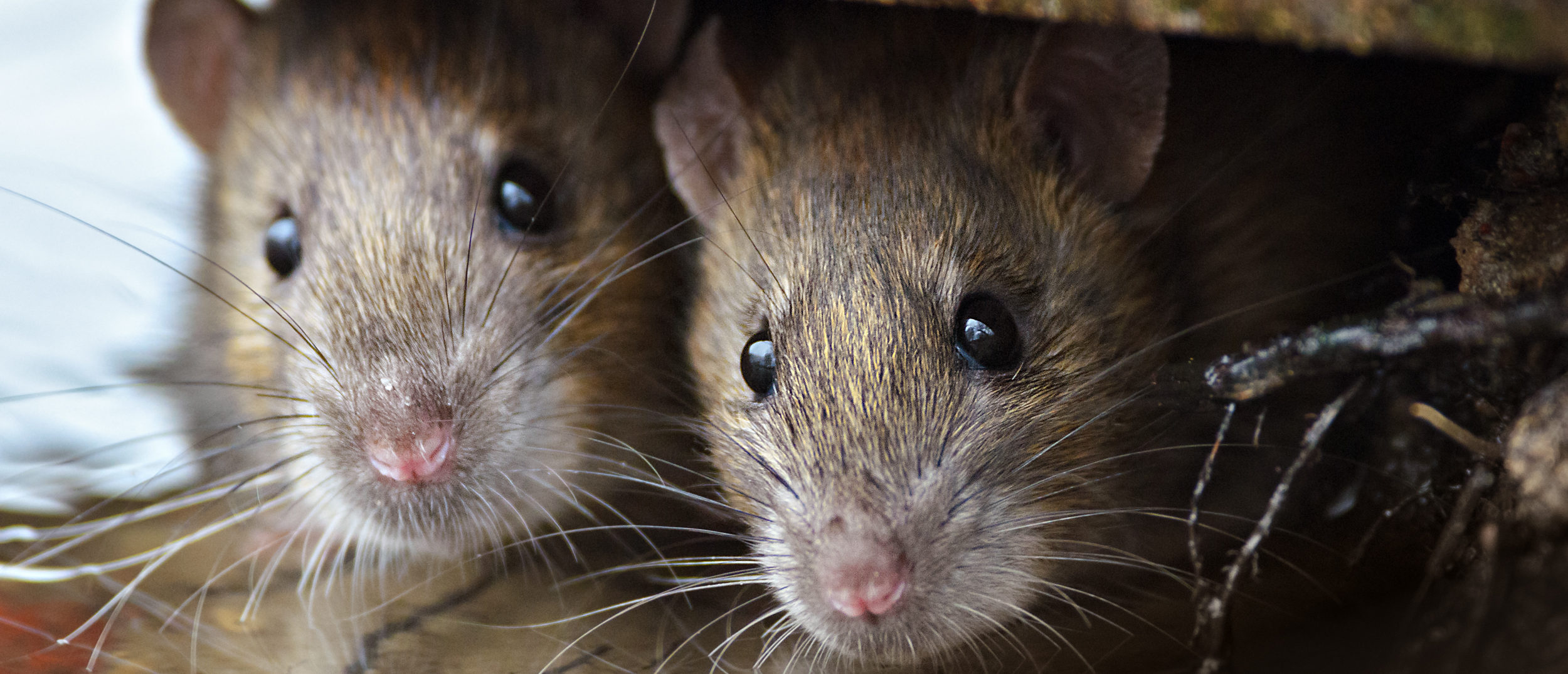 Two rats sitting side by side (Shutterstock/Gallinago media)