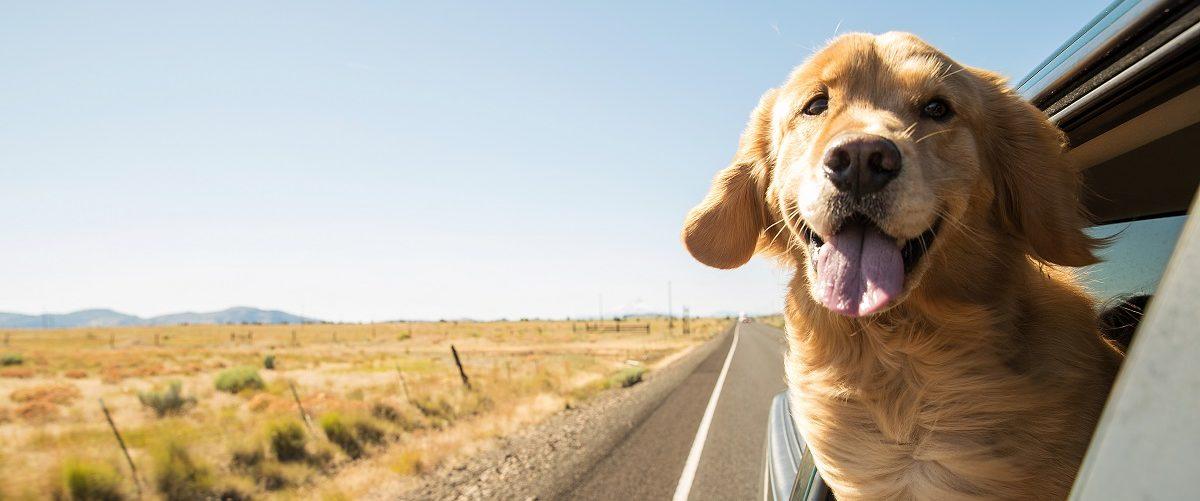 Golden retriever on a road trip. Mat Hayward/Shutterstock.