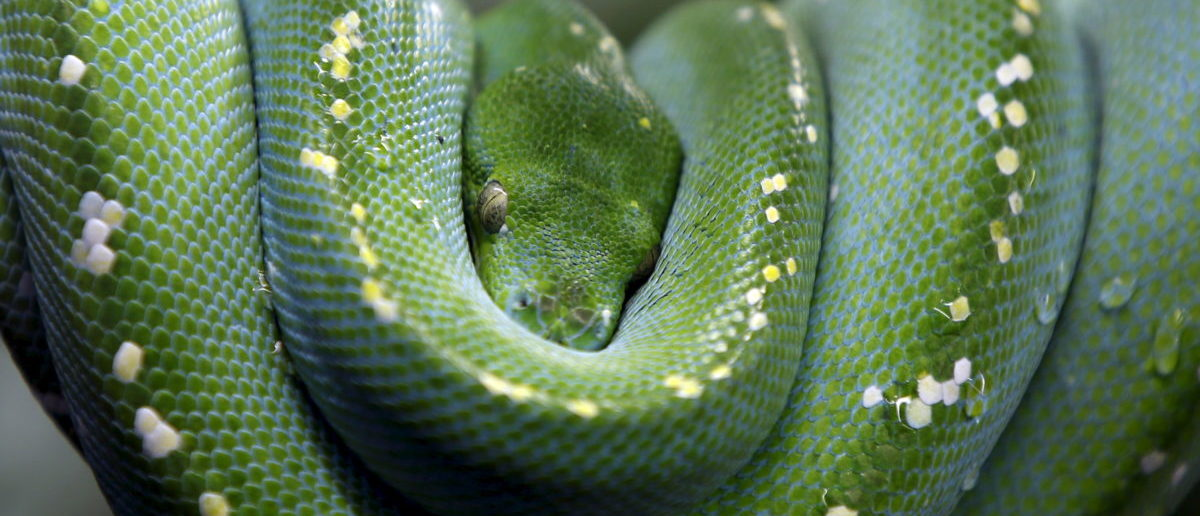 A Green Tree Python is seen in Augsburg's zoo, Germany, January 31, 2016. REUTERS/Michaela Rehle