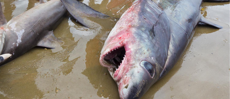 A stranded thresher shark dead on the beach (Photo: Shutterstock/Steffen Foerster)