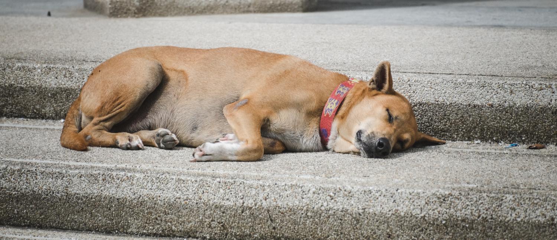 Stray dog sleeps on the steps (Oat.P/Shutterstock)