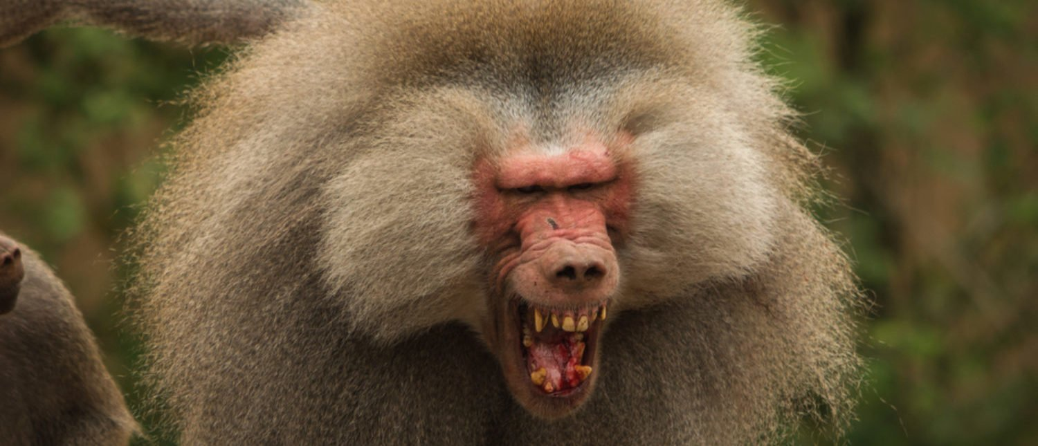 A baboon displaying anger. [Shutterstock - Patrick Verhoef]