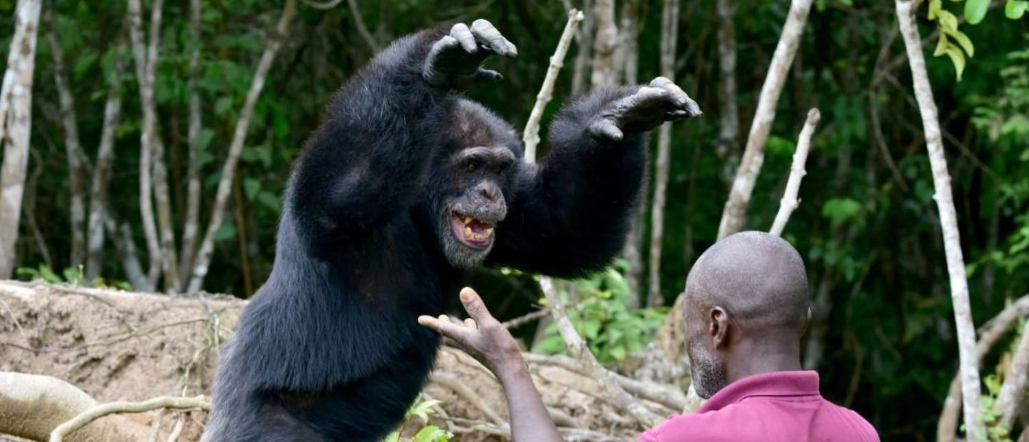 Germain Djenemaya Koidja, a carer paid for by the association Les Amis de Ponso (Friends of Ponso), interacts with Ponso, the only surviving chimpanzee of a colony of 20 apes, on Chimpanzee Island near the town of Grand Lahou, Ivory Coast, on August 18, 2017. Only Ponso remains of a group of chimpanzees relocated to the tiny island from Liberia in 1983 by a research laboratory for medical tests. An effort is under way to keep Ponso alive and well in a west African country where the ape population has plummeted by 90 percent in just two decades. (Photo: ISSOUF SANOGO/AFP/Getty Images)
