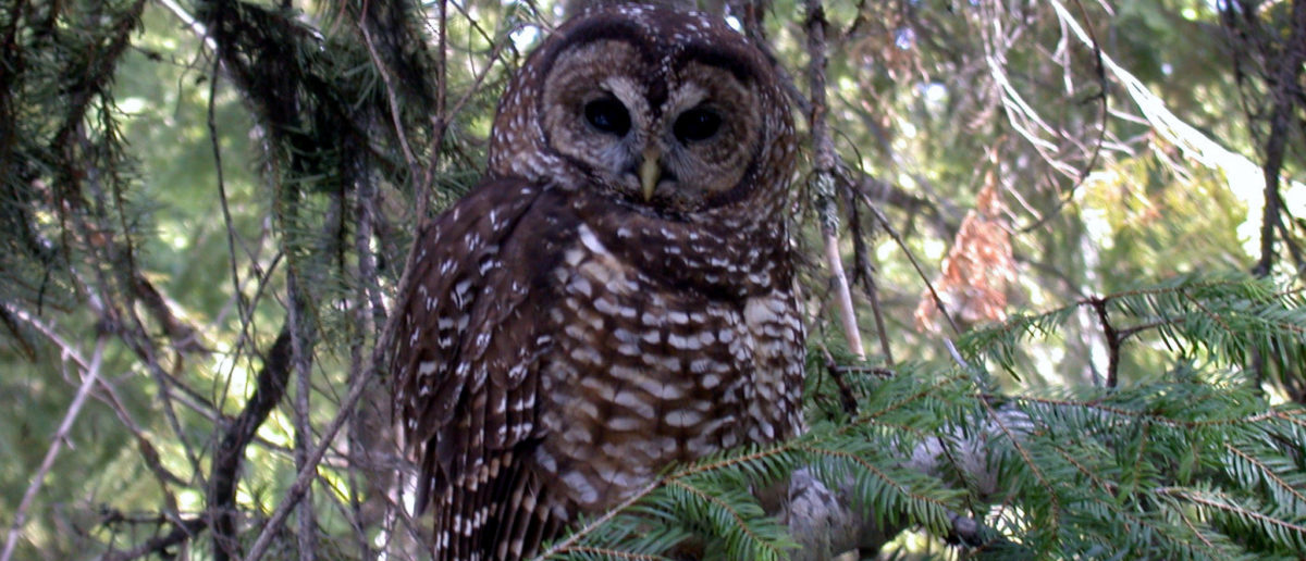 The threatened Northern Spotted Owl is shown in this undated handout photo provided June 13, 2017.  (Photo: Courtesy Shane Jeffries/U.S. Fish and Wildlife Service/Handout via REUTERS)
