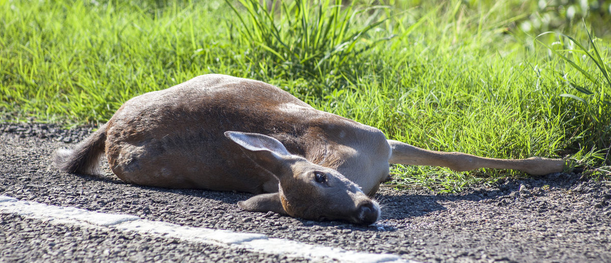 Roadkill deer lays between highway and a green pasture.