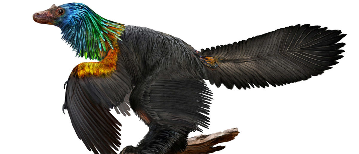 An illustration of a reconstruction of the iridescent dinosaur which had rainbow feathers, named Caihong juji, unearthed in China, is shown in this October 31, 2016 photo released on Jan. 15, 2018. (Illustration by Velizar Simeonovski, The Field Museum/Handout via REUTERS )
