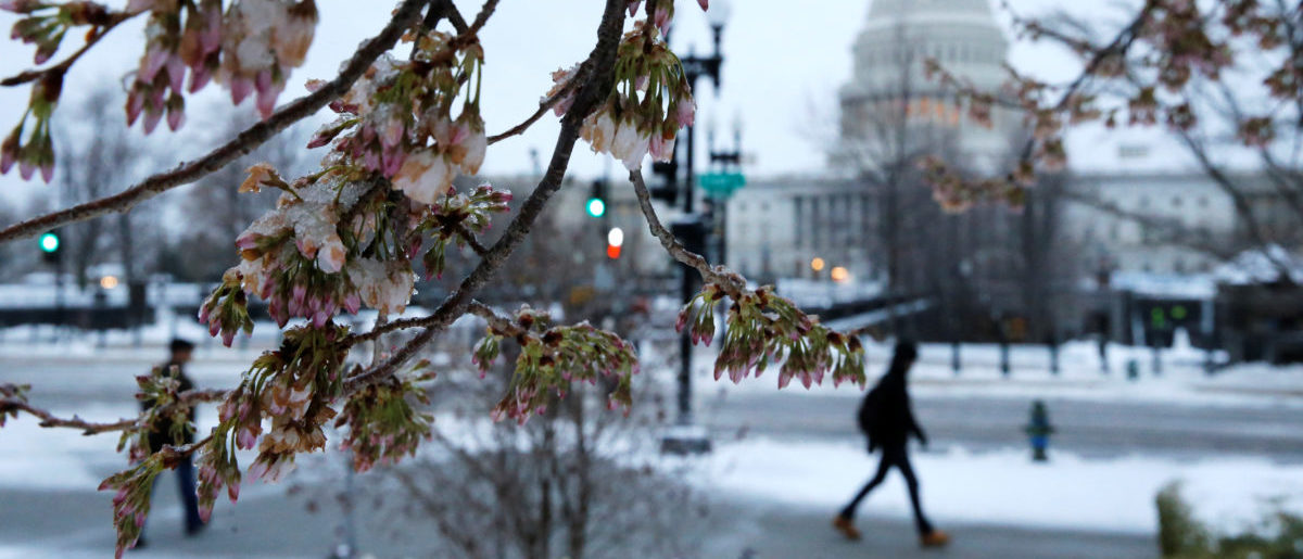Ice coats a tree that had already begun to blossom for spring, as frozen rain falls on Capitol Hill, in Washington, U.S. March 14, 2017. REUTERS/Jonathan Ernst