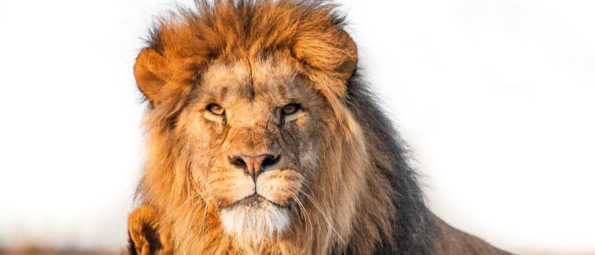 lion Shutterstock/Polarpx