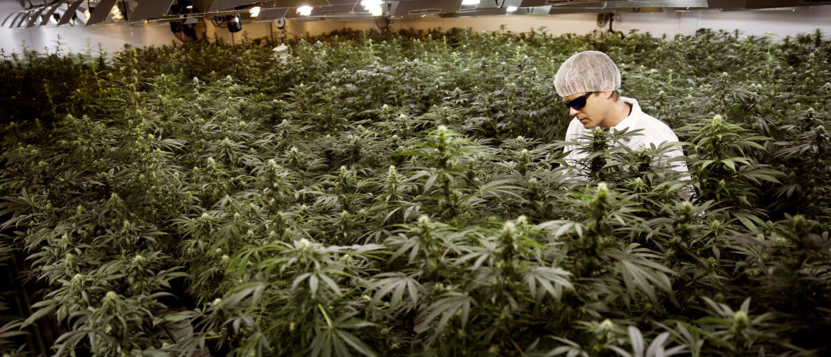 FILE PHOTO: Master Grower Ryan Douglas waters marijuana plants in a growing room at Tweed Marijuana Inc in Smith's Falls, Ontario, Canada, February 20, 2014. REUTERS/Blair Gable