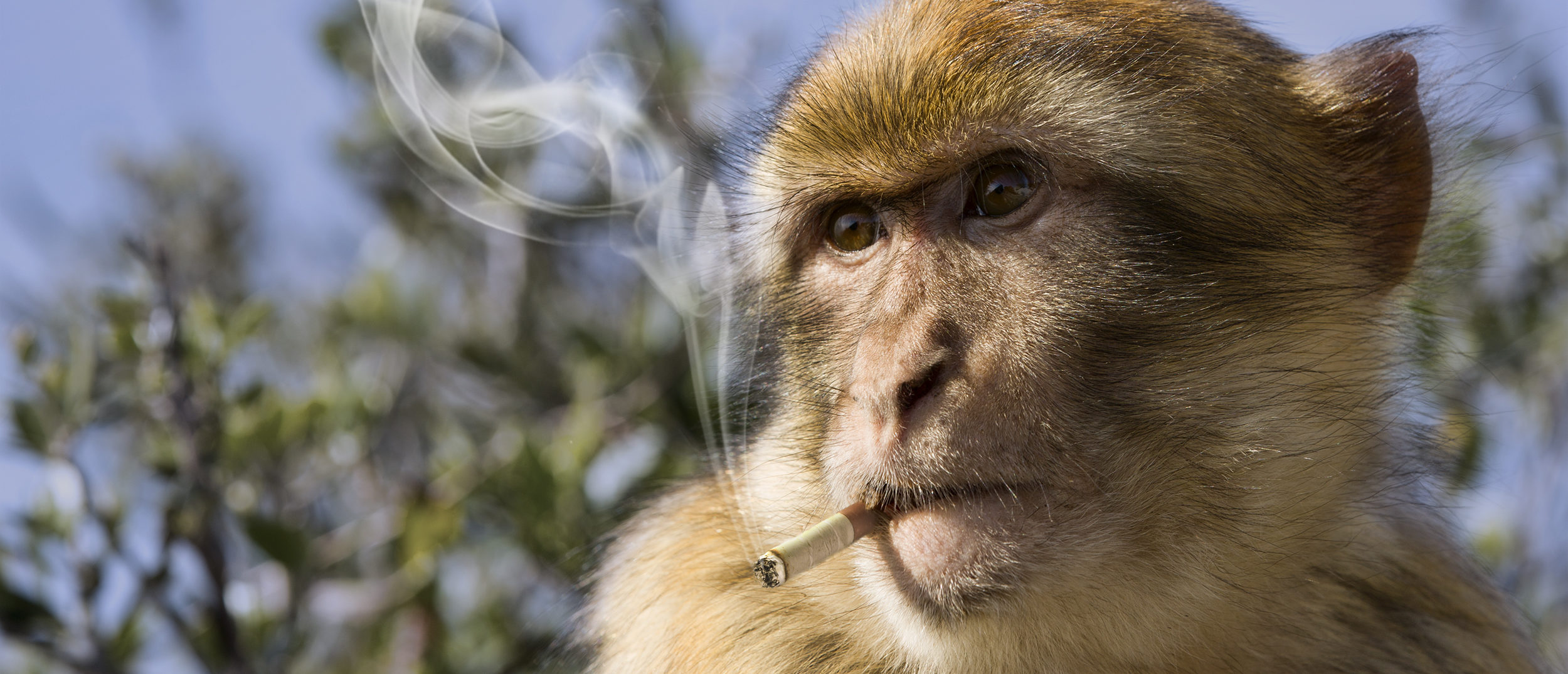 Monkey smoking a cigarette (Photo via Shutterstock)