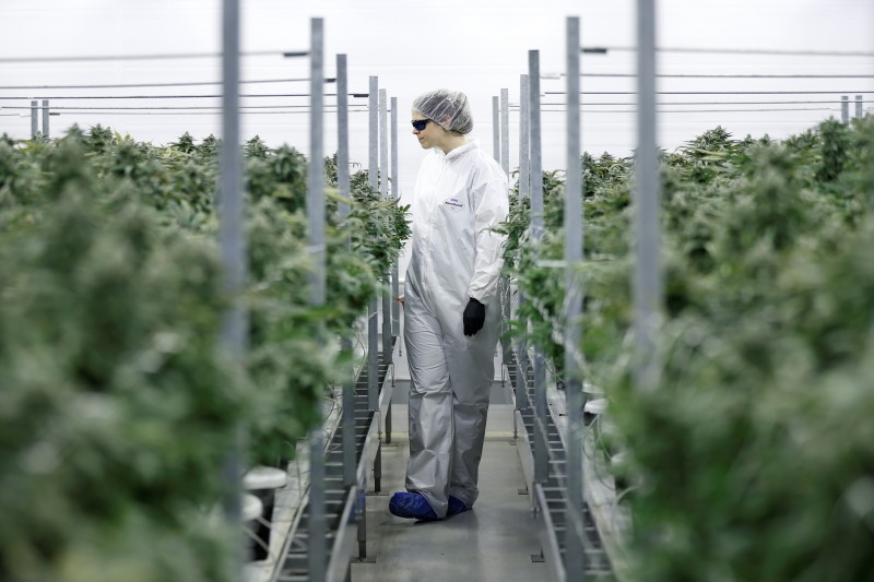 Section grower Corey Evans walks between flowering marijuana plants at the Canopy Growth Corporation facility in Smiths Falls, Ontario, Canada, January 4, 2018. REUTERS/Chris Wattie