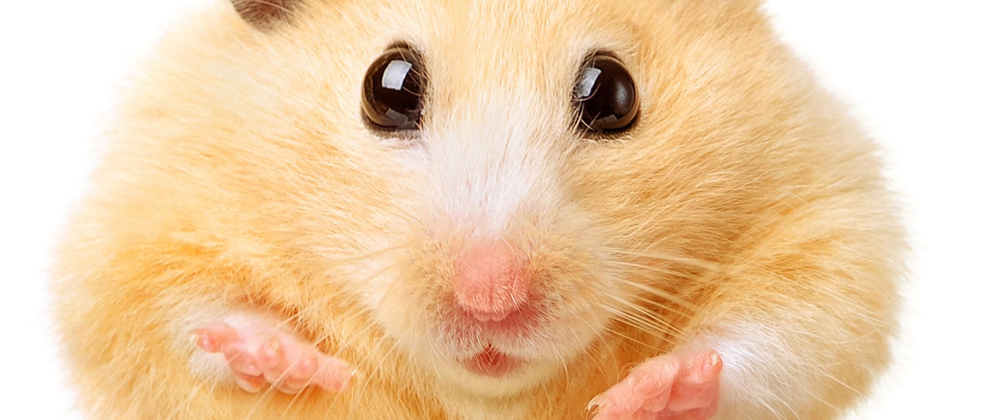 Fat funny hamster isolated on white background. (Shutterstock/Igor Kovalchuck)