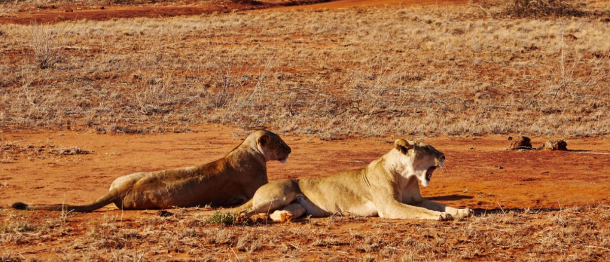 Two lions in the savannah of Tsavo East in Kenya (Shutterstock: H.E.Knab)