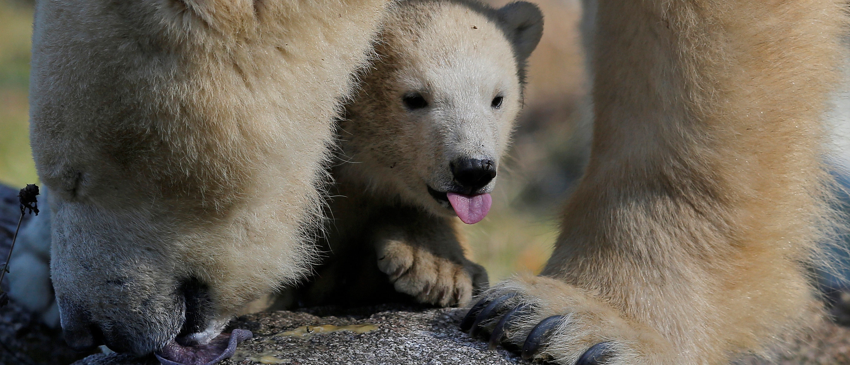 Female Polar bear cub Nanuq (polar bear in the Inuit language), born on November 7, 2016, is pictured with its mother Sesi during her first presentation to the public to mark international polar bear day at the zoo of Mulhouse, France, February 27, 2017. REUTERS/Vincent Kessler -