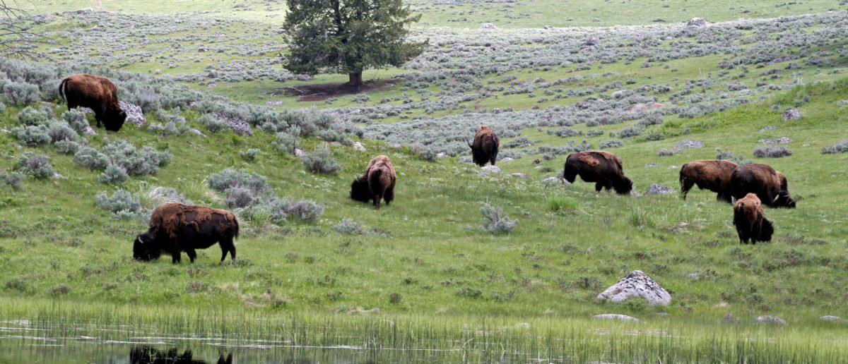 A herd of bison graze in Lamar Valley in Yellowstone National Park Wyoming