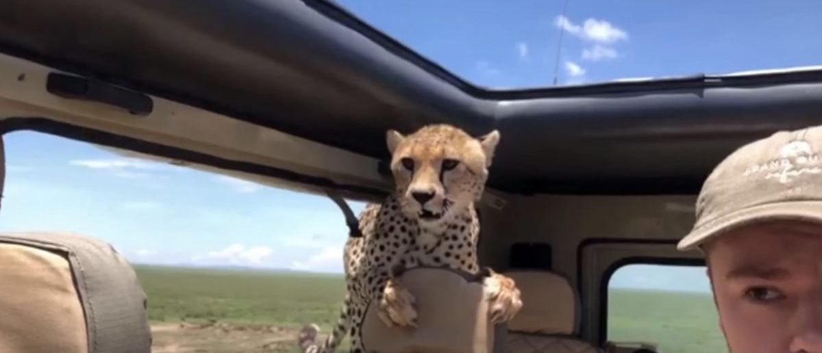 National Business Group On Health >> Safari Gets Unexpected Guest As Freeloading Cheetah Hops ...