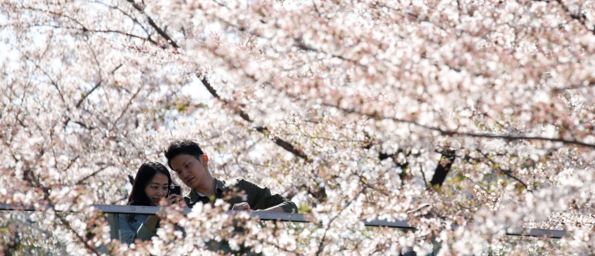 People take a picture of cherry blossoms in full bloom in Tokyo, Japan March 30, 2018. REUTERS/Toru Hanai