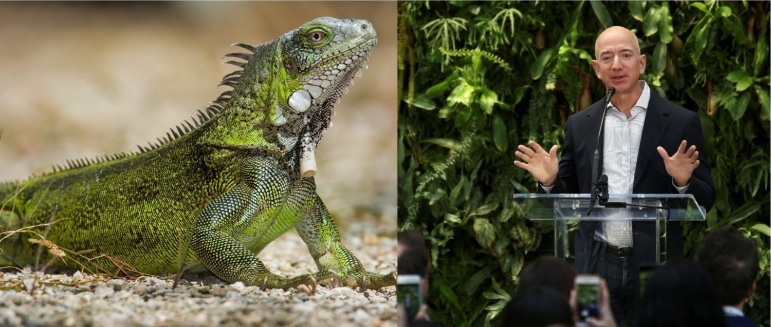 Left: A green iguana [Shutterstock - By Rostislav Stach] Right: Amazon founder and CEO Jeff Bezos speaks at the new Amazon Spheres opening event at Amazon's Seattle headquarters in Seattle, Washington, U.S., January 29, 2018. REUTERS/Lindsey Wasson