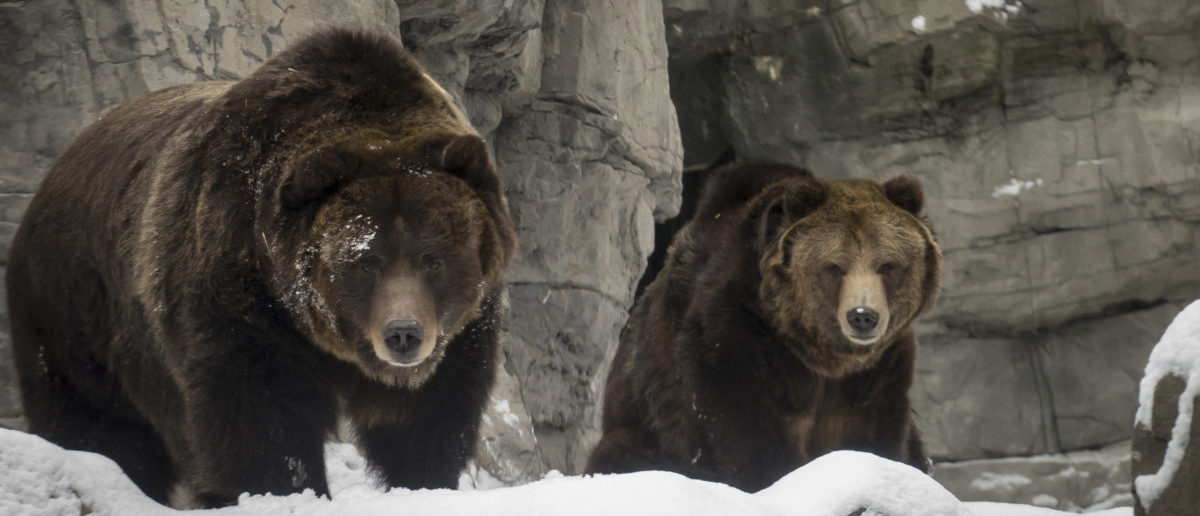 Two rescued female grizzly bears explore their new habitat in the snow at New York's Central Park Zoo January 9, 2015. The Central Park Zoo introduced to the public two new inhabitants on Friday, grizzly bears Betty and Veronica, who were rescued in 1995 by the Wildlife Conservation Society. They are living in a remodeled habitat previously occupied by polar bear Gus who died in 2013. According to the Society both bears had become too accustomed to humans, and local authorities considered them a danger to people. REUTERS/Brendan McDermid | Wyoming Holds First Bear Hunt In 43 Yrs.