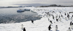 Adelie penguins walk on the ice at Cape Denison in Antarctica, in this December 12, 2009 file photo. Seeds and plants accidentally brought to the pristine frozen continent of Antarctica by tourists and scientists may introduce alien plant species which could threaten the survival of native plants in the finely balanced ecosystem, especially as climate change warms the ice continent, said a report in the Proceedings of the National Academy of Sciences Journal published on March 6, 2012. To match story ENVIRONMENT-ANTARCTIC/SEEDS    REUTERS/Pauline Askin/Files    (ANTARCTICA - Tags: ENVIRONMENT ANIMALS) - GM1E8361H9P01