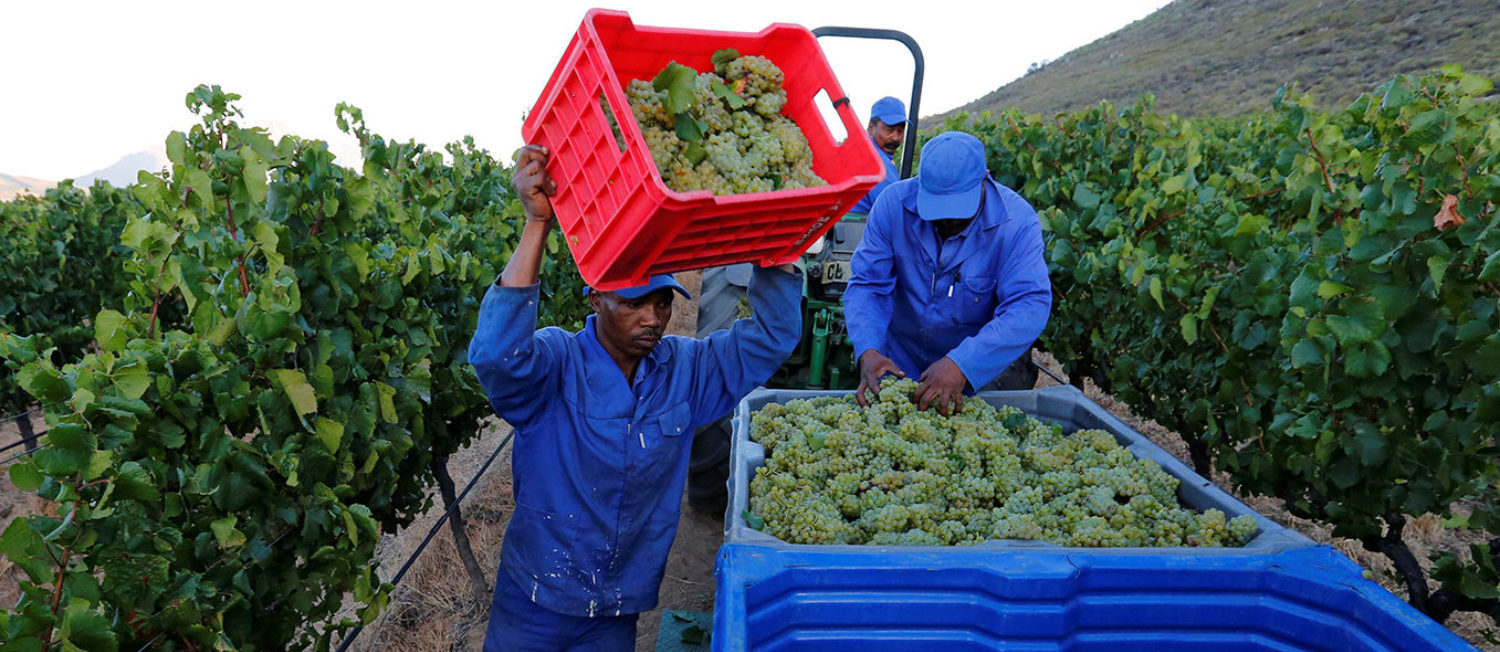 Workers harvest grapes at the La Motte wine farm in Franschhoek near Cape Town, South Africa in this picture taken January 29, 2016. REUTERS/Mike Hutchings