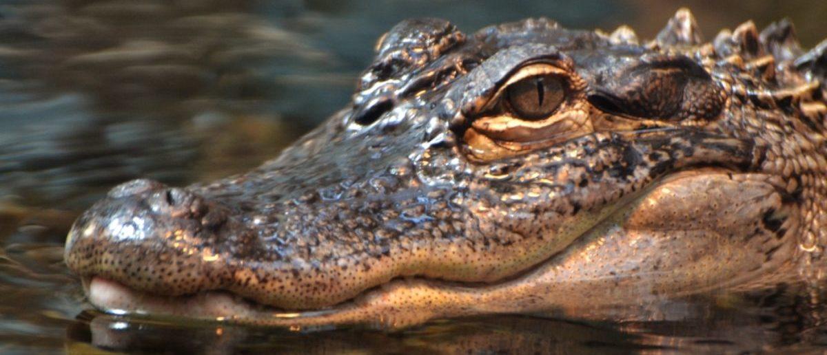 Alligator (Credit: Shutterstock)