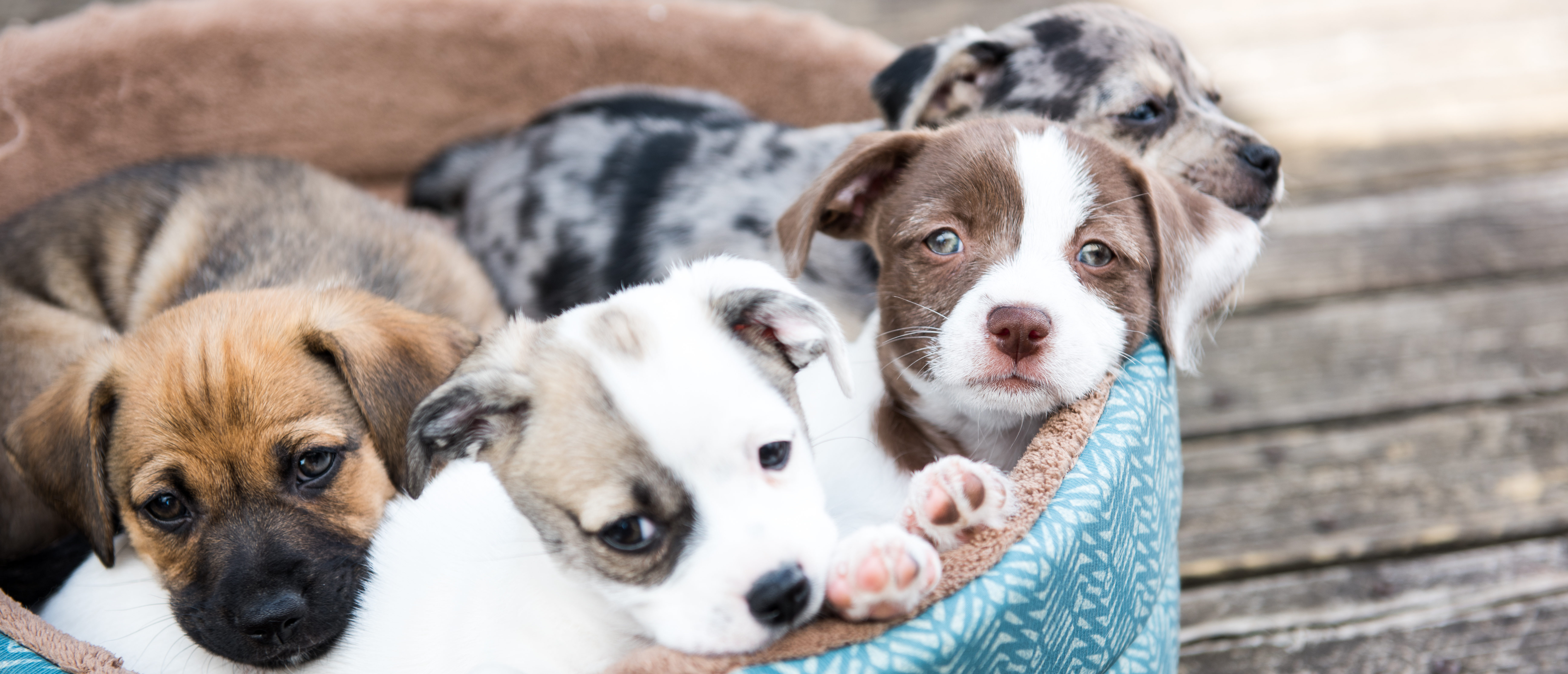 Litter of Terrier Mix Puppies Playing in Dog Bed Outside on Wooden Deck. Shutterstock