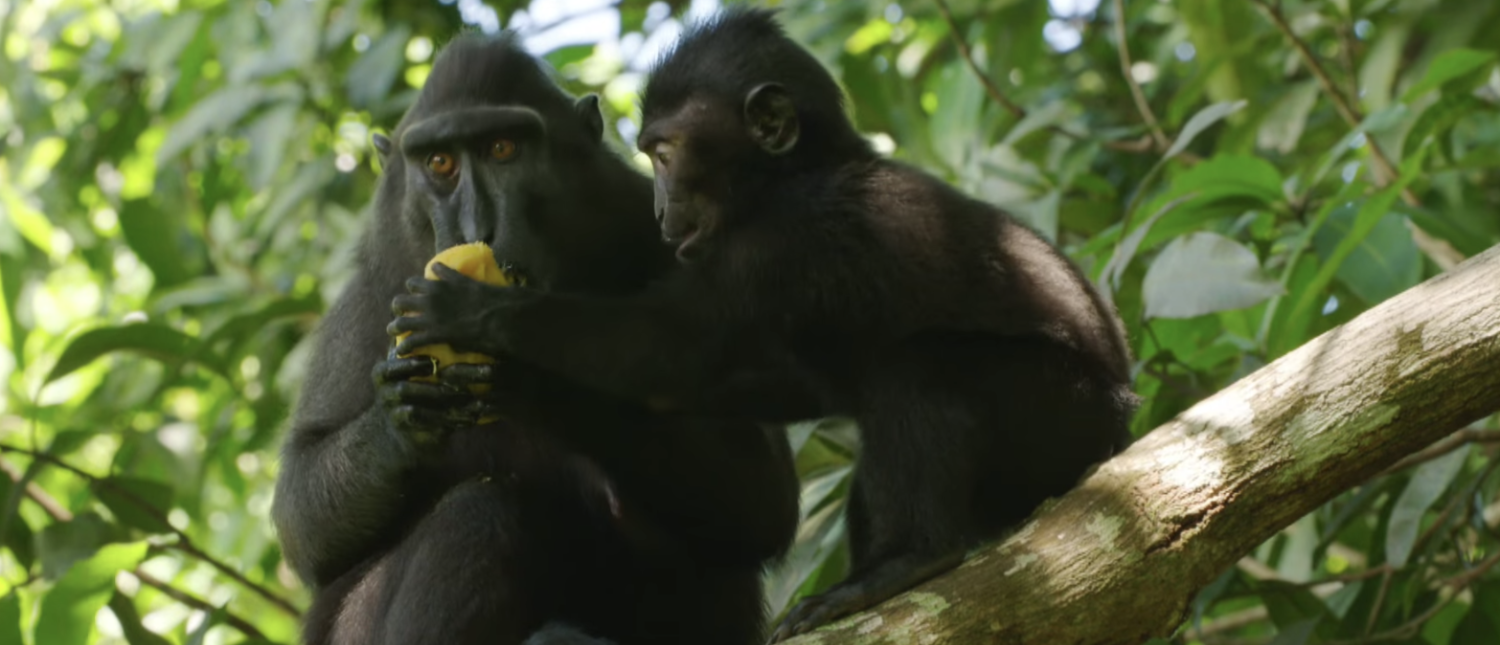 Crested black macaques in a 2015 BBC documentary. (YouTube screenshot/BBC Earth)