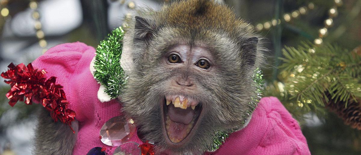 Macaques Dress REUTERS/Andrei Kasprishin