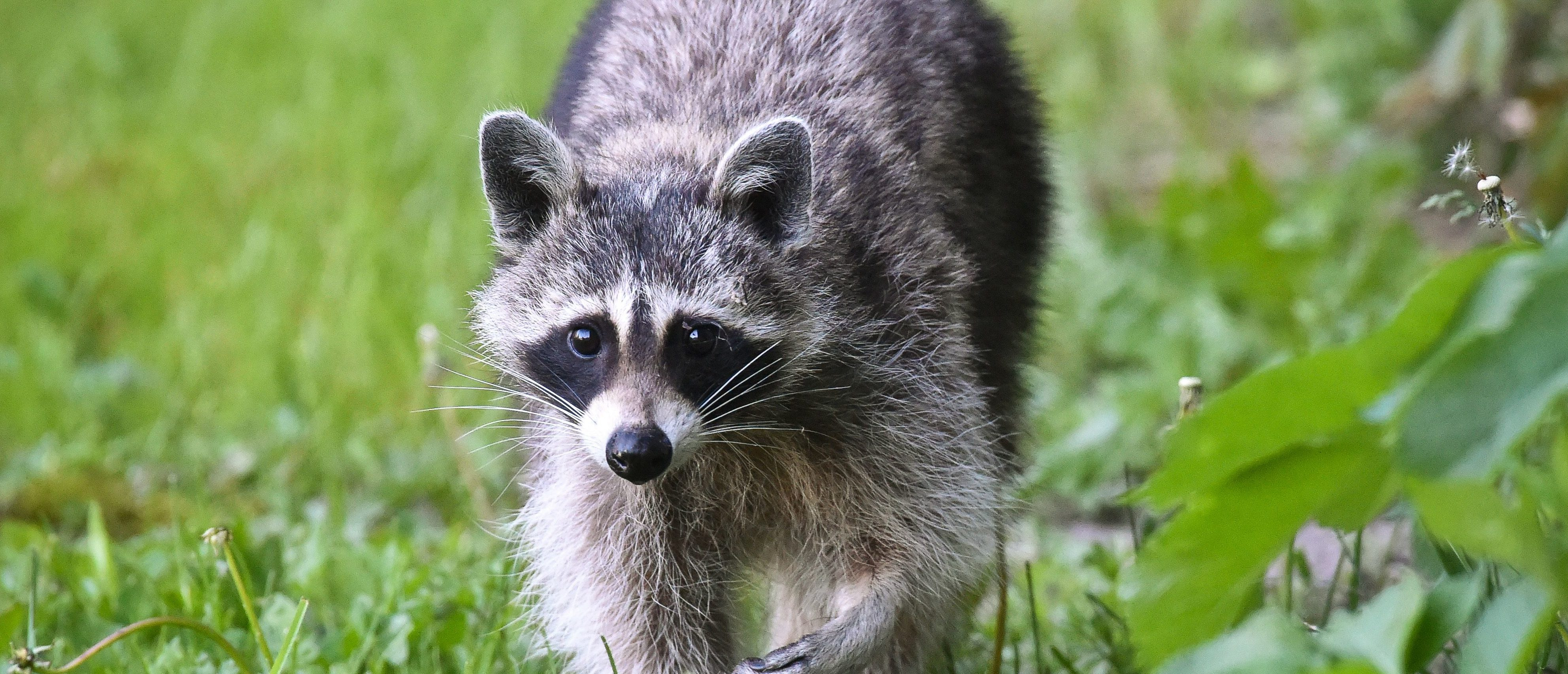 This picture taken on May 11, 2014 shows a racoon, in Sieversdorf near Brandenburg, eastern Germany. / AFP / dpa / Patrick Pleul / Germany OUT (Photo credit should read PATRICK PLEUL/AFP/Getty Images)