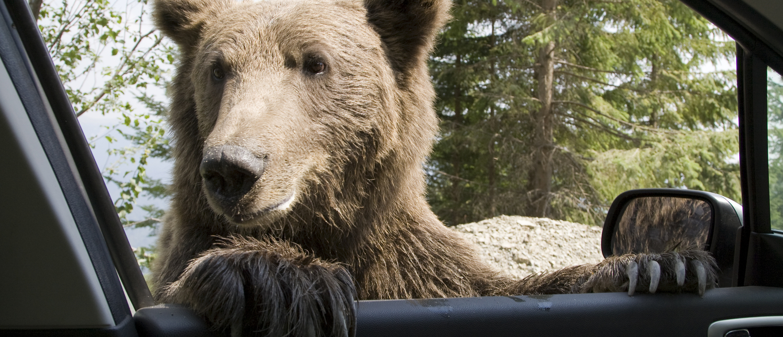 Bear looks into car window. Photo: Shutterstock/MihaiDancaescu