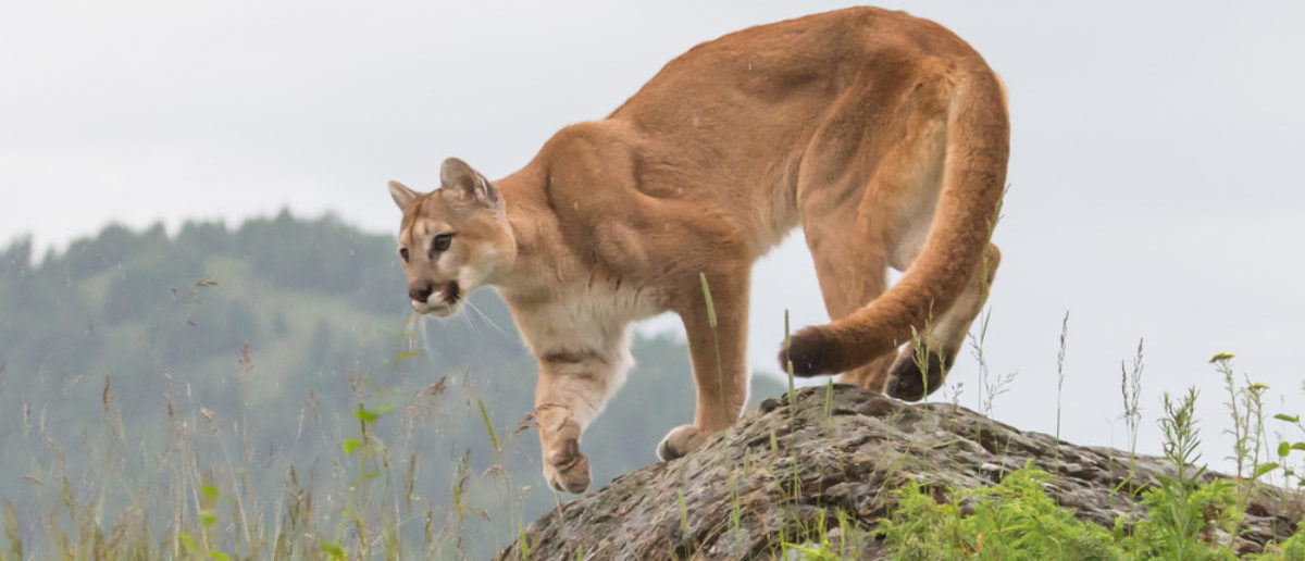 mountain lion, cougar, puma on a rocky ledge with mountains in the background (SHUTTERSTOCK: By Warren Metcalf)