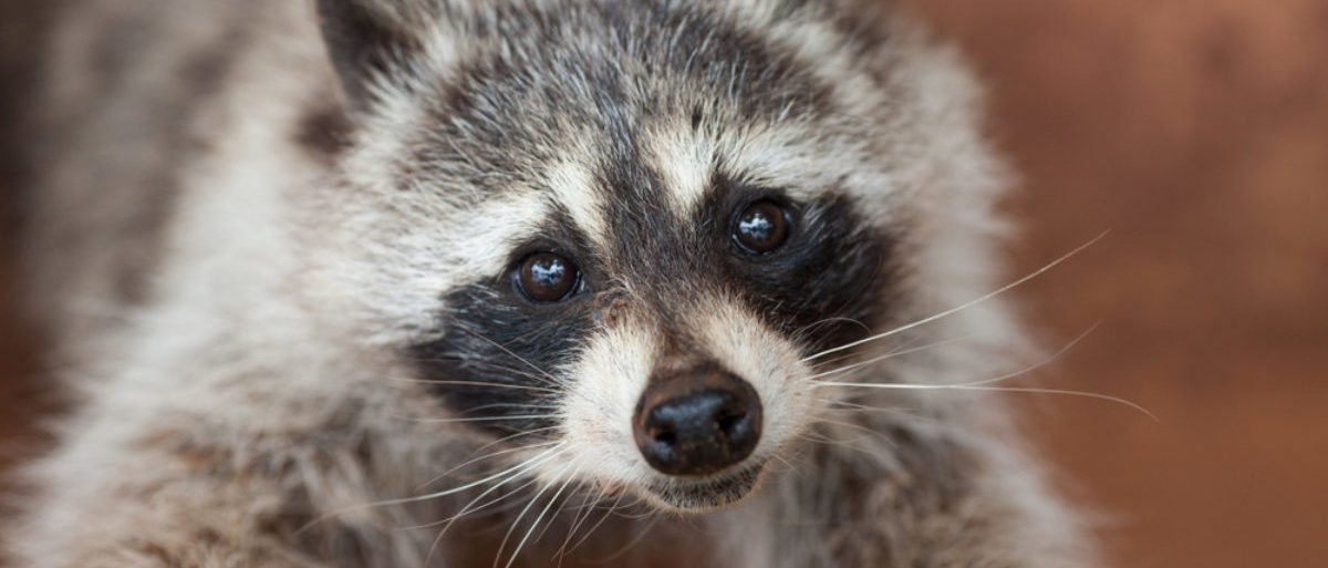 A raccoon stares into the camera with a touching gaze. (Shutterstock/Sedov Ivan) | Teacher Drowns Raccoons For Students?