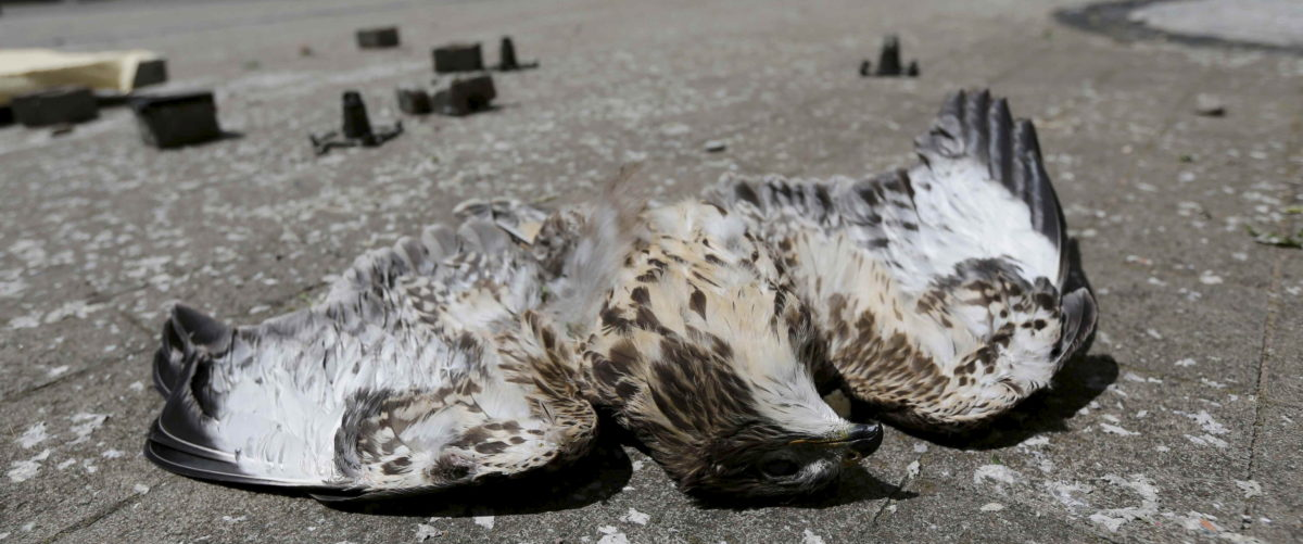 A dead bird of prey lies in the road next to debris following a tornado in Framersheim near Mainz, Germany, July 8, 2015, following a tornado. A tornado that was triggered by violent storms following a period of unusually warm weather touched down in the village last night. REUTERS/Wolfgang Rattay