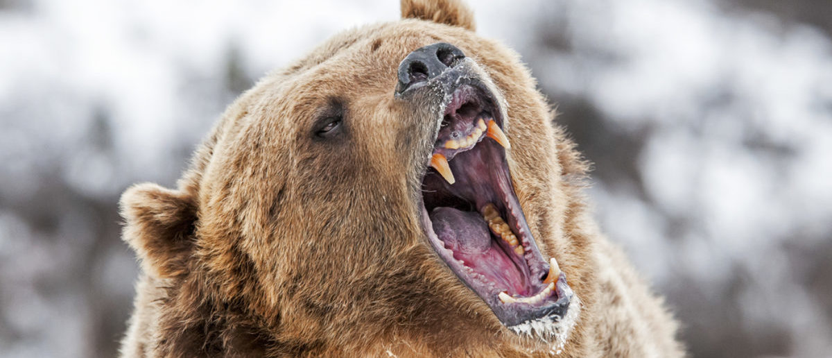 Grizzly (Credit: Shutterstock)