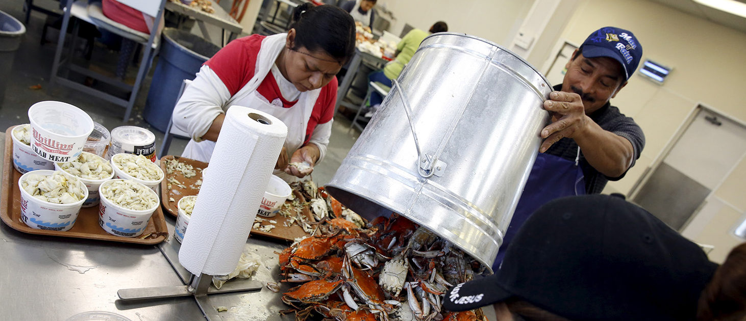 Mexican workers, on the U.S. H2B visa program for seasonal guest workers, process crabs at the A.E. Phillips & Son Inc. crab picking house on Hooper's Island in Fishing Creek, Maryland August 26, 2015. Phillips has claimed pioneering status in the Chesapeake crab industry since 1956, when they opened their own restaurant in Ocean City, Maryland, and today still run the picking operation on Hooper's Island to provide crabs to their network of eateries. REUTERS/Jonathan Ernst