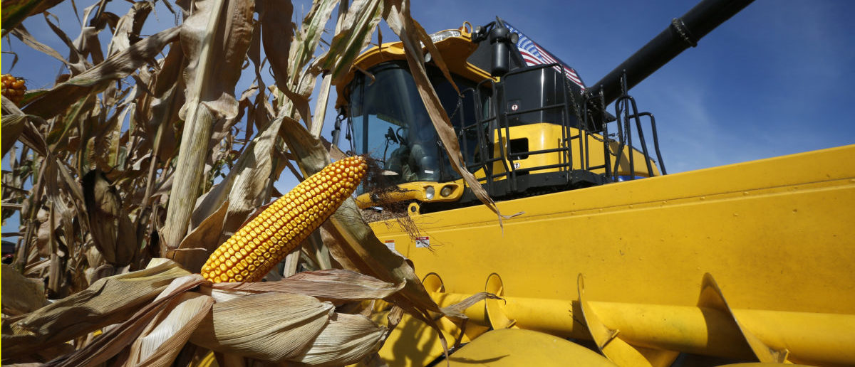 A combine machine harvests corn in a field in Minooka, Illinois, September 24, 2014. Spot basis bids for corn and soybeans were lower at processors and elevators amid slow farmers sales around the U.S. Midwest on Wednesday, dealers said. REUTERS/Jim Young