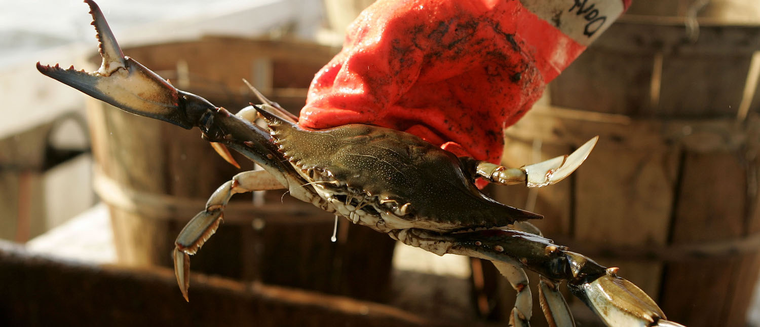 "Fisherman aboard the commercial crabbing boat ""Foxy Roxy"" holds a Blue Crabs while crabbing on the Chesapeake Bay August 3, 2005 in Chesapeake Beach, Maryland. (Photo: Mark Wilson/Getty Images)"