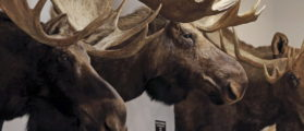 Supreme Court Agrees To Rehear The Case Of An Alaskan Moose Hunter 'Threatened' By The Ninth Circuit
