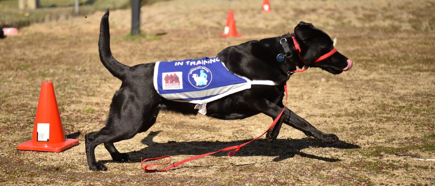 This photo taken on August 8, 2017 shows black Labrador Oriana, the service dog of John Hume, a former Australian navy veteran who fought in the Vietnam War in the service dogs programme in Sydney to help him overcome Post Traumatic Stress Disorder (PTSD).