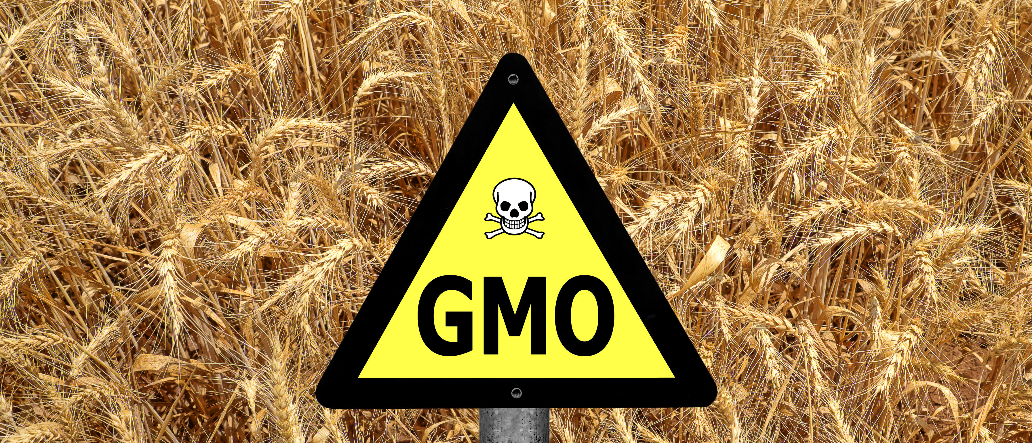 GMO ( GM ) yellow sign with the wheat crop in the background. (Media credit Protasov AN/Shutterstock)