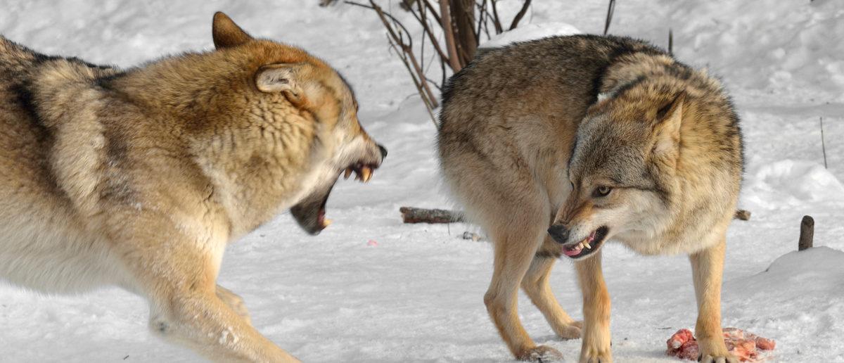 Gray wolves fight over food. (Shutterstock/Popova Valeriya)