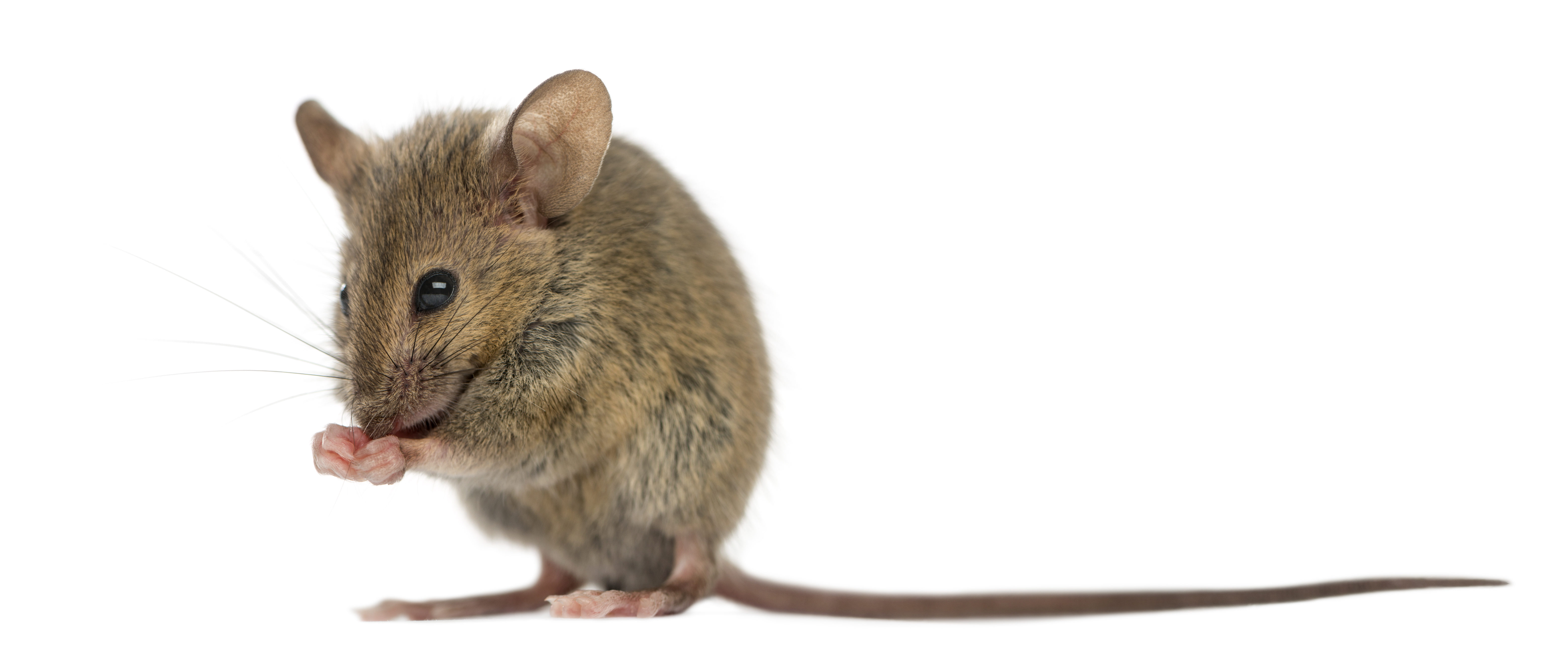 Mouse on white background (Shutterstock/ Eric Isselee)