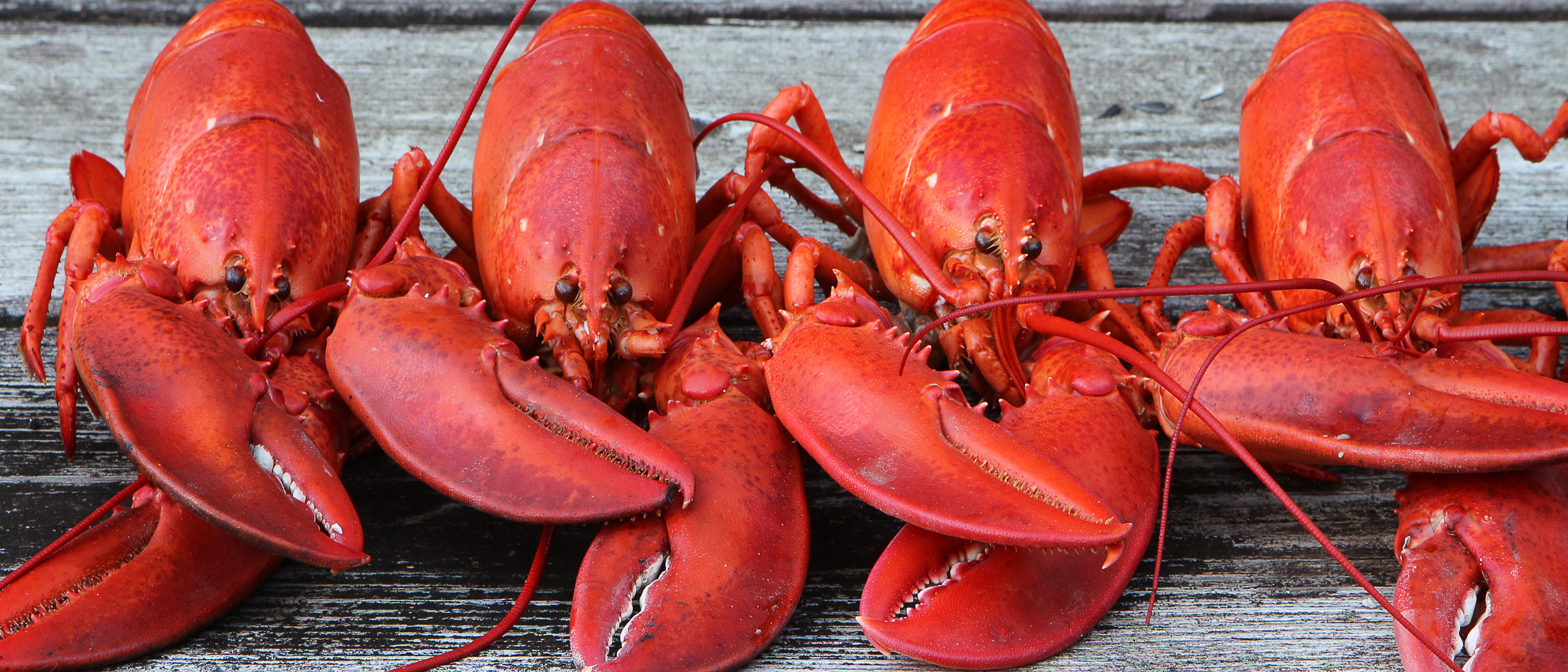 Row of lobsters (Shutterstock/Charles Curtis)
