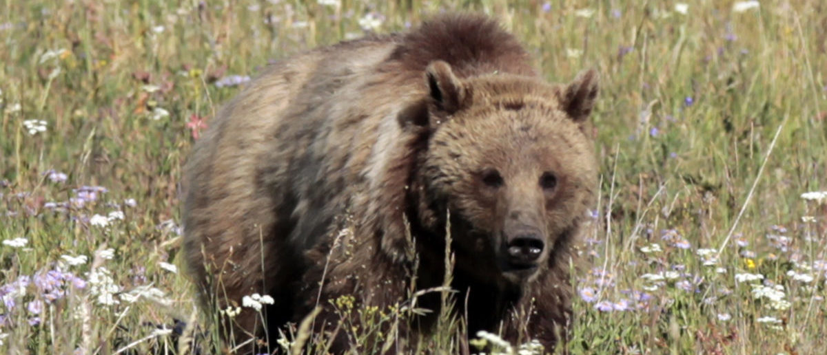 A grizzly bear walks in a meadow in Yellowstone National Park, Wyoming August 12, 2011. Picture taken August 12, 2011. REUTERS/Lucy Nicholson