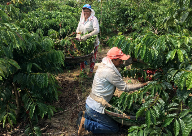 FILE PHOTO: Workers harvest robusta coffee in Sao Gabriel da Palha